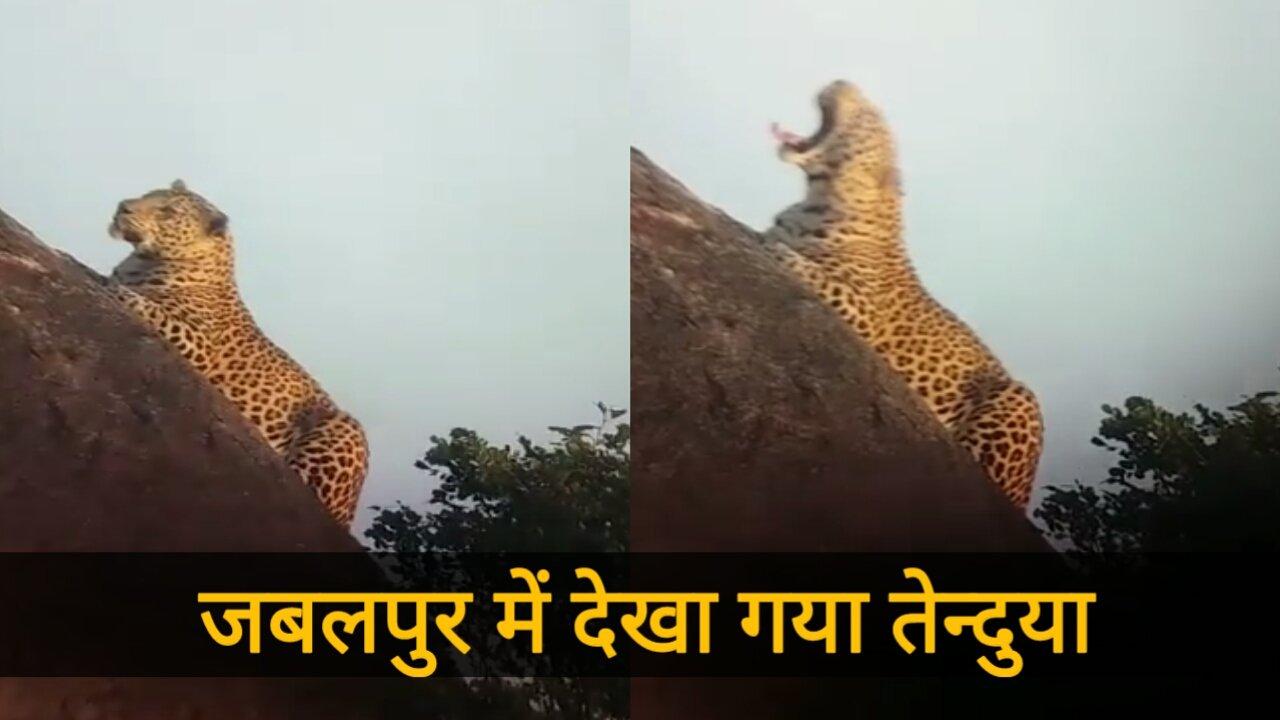 Leopard Seen In Jabalpur