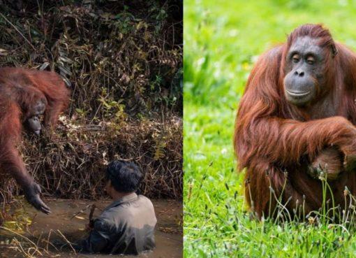 Orangutan monkey Help