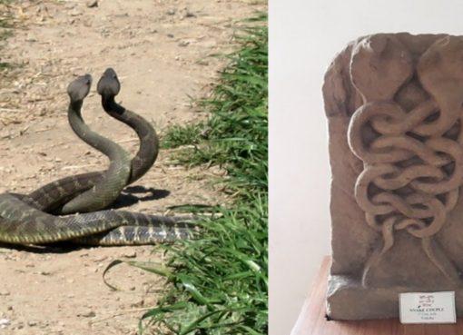 Snake Bite News Naag Panchami