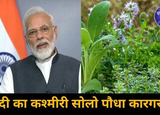Solo Plant Kashmir Mmodi