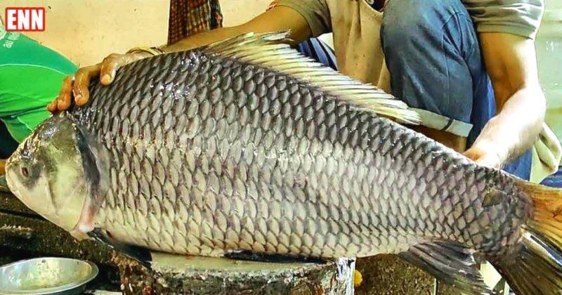 Biggest Catla Fish