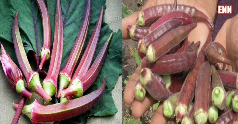 Red Bhindi Farming